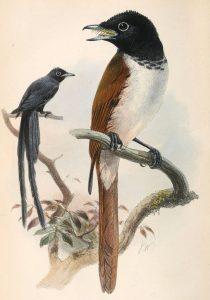Seychellen-Paradiesschnäpper Weibchen (vorne) und Männchen (hinten) (Joseph Wolf)
