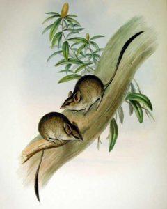 Springbeutelmaus (John Gould)