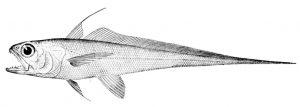 Steindachneria argentea (David Starr Jordan)