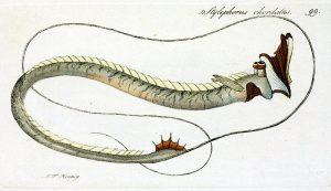 Stylephorus chordatus (J. F. Hennig)