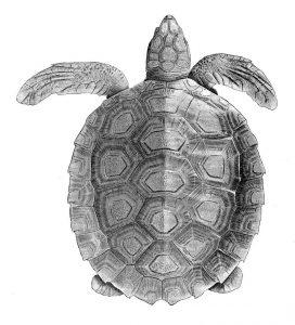 Wallriffschildkröte (Alan Riverstone McCulloch)