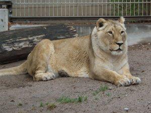 Asiatischer Löwe (Zoo Heidelberg)