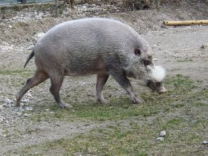 Bartschwein (Tierpark Hellabrunn)