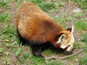 Kleiner Panda (Zoo Plzen)