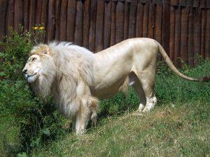 Weißer Löwe (Zoo Bratislawa)