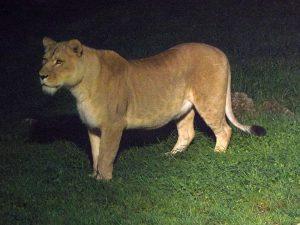 Löwin während des Nachtzoos (Zoo Salzburg)