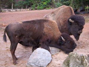 Bison (Erlebniszoo Hannover)