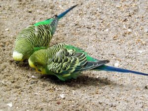 Wellensittich (Weltvogelpark Walsrode)