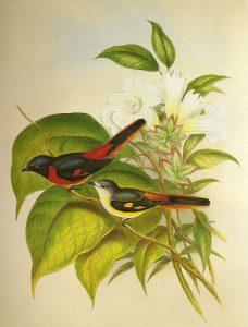 Zwergmennigvogel (John Gould)