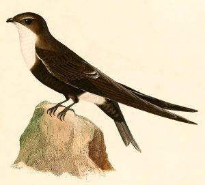 Bergsegler ( Alcide Dessalines d'Orbigny)