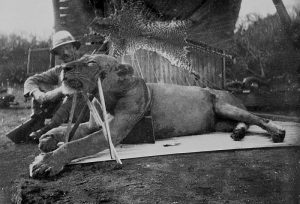 Der erste der beiden Menschenfresser-Löwen von Tsavo, erlegt von Patterson, 1898