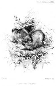 Gemeiner Baumschliefer (Joseph Wolf)