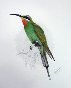 Blauwangenspint (Claude Gibney Finch-Davies)