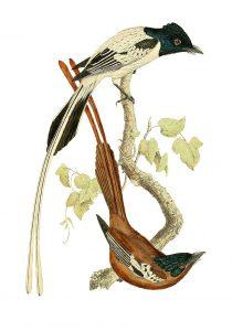Madagaskar-Paradiesschnäpper (John Gerrard Keulemans)