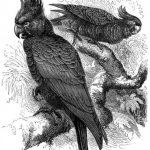 Helmkakadu (Brehms Tierleben)