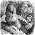 Molukkenkakadu (Brehms Tierleben)