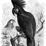 Palmkakadu (Brehms Tierleben)