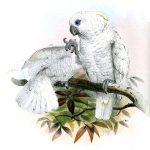 Weißhaubenkakadu (Joseph Wolf)