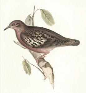 Galapagostaube (John Gould)