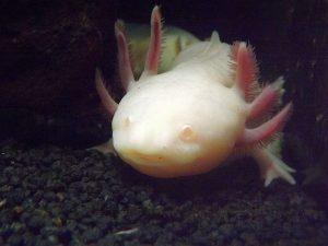 Axolotl (Sealife Königswinter)