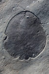 Dickinsonia-Fossil von der Küste des Weißen Meeres