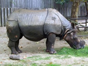 Panzernashorn und Visayas-Pustelschwein (Zoo Planckendael)