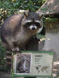Waschbär (Zoo Planckendael)
