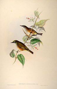 Weißbrust-Brillenvogel (John Gould)