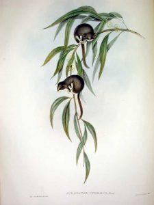 Zwerggleitbeutler (John Gould)