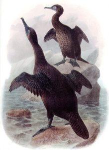 Galapagosscharbe (John Gerrard Keulemans)