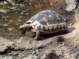 Afrikanische Schnabelbrustschildkröte (Tiergarten Schönbrunn