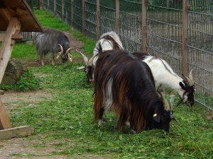 Bulgarenziege (Thüringer Zoopark)