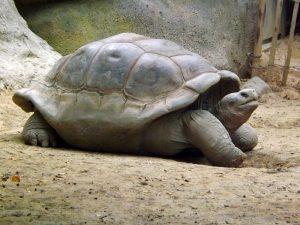 Galapagos-Schildkröte (Zoo Blijdorp)