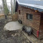 Anlage für Hausschweine (Wildpark Annaberg-Buchholz)