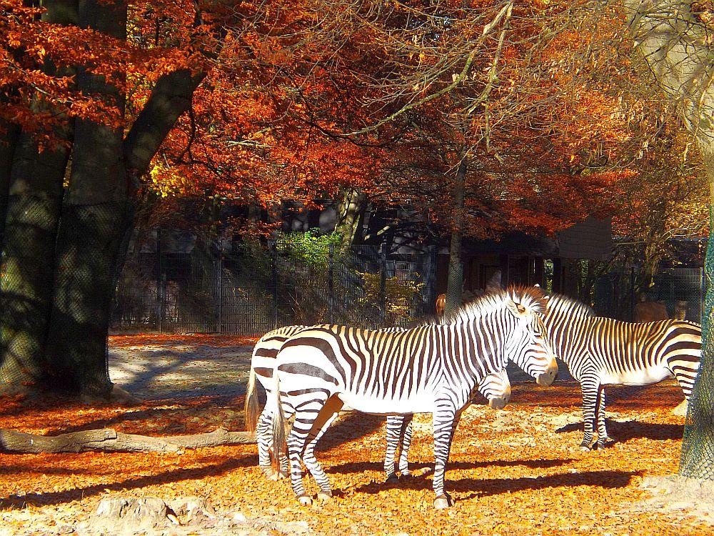 Bergzebras (Tierpark Hellabrunn)