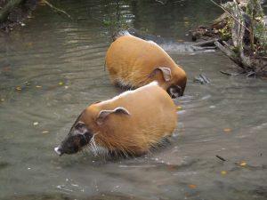 Pinselohrschwein (Tierpark Hellabrunn)