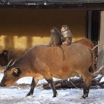 Mantelpavian und Rotbüffel (Zoo Augsburg)