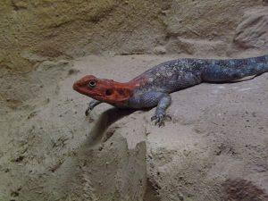 Siedleragame (Zoo Neuwied)