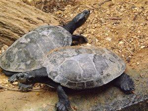 Terekay-Schienenschildkröte (Zoo Krefeld)