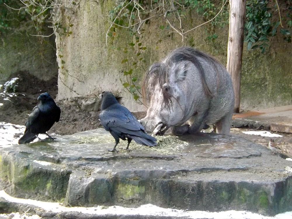 Warzenschwein und Kolkrabe (Zoo Berlin)