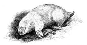 Großer Beutelmull (Cambridge Natural History Mammalia)