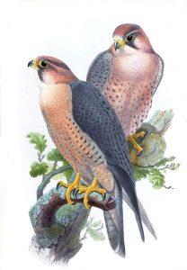 Falco peregrinus babylonicus (John Gould)