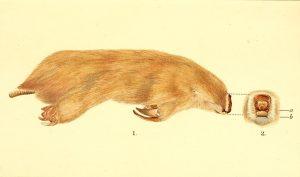 Großer Beutelmull ( Rosa Catherine Fiveash)
