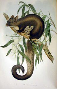 Großer Gleithörnchenbeutler (John Gould)