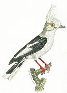 Weißschopf-Brillenwürger (Louis Pierre Vieillot)
