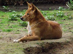 Dingo (Tierpark Halberstadt)