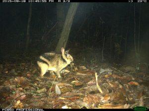 Ein annamitisches Streifenkaninchen, aufgenommen von einer Fotofalle im Hue Saola Nature Reserve (Vi ... Leibniz-IZW / WWF-Vietnam CarBi Project / Hue Saola Nature Reserve