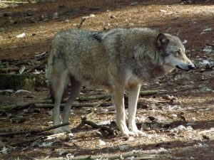 Wolf (Zoo in der Wingst)