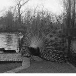 Zoo Leipzig, Pfauen im Freigehege 1951 (Roger und Renate Rössing)