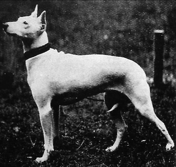 Olde White English Terrier (Bylandt)